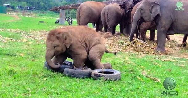You'll Smile Watching This Baby Elephant Playing With Tires